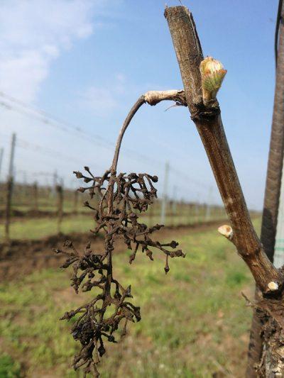 Alte Traube und junge Weinknospe im Weingut Schwarzbauer