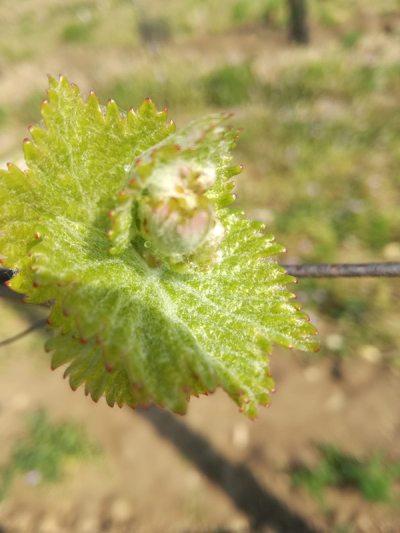 Junge Chardonnay Blätter im Weingut Schwarzbauer