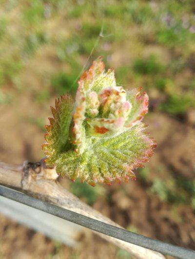 Junge Weinblätter im Weingut Schwarzbauer