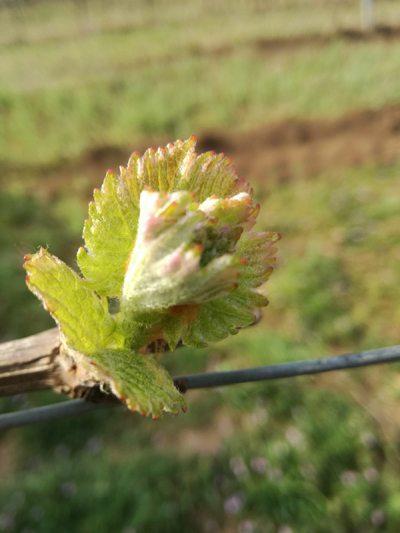 Junge Zweigelt Blätter im Weingut Schwarzbauer