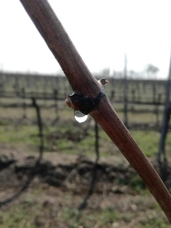 Rebträne auf Bouvier Rebe im Weingut Schwarzbauer