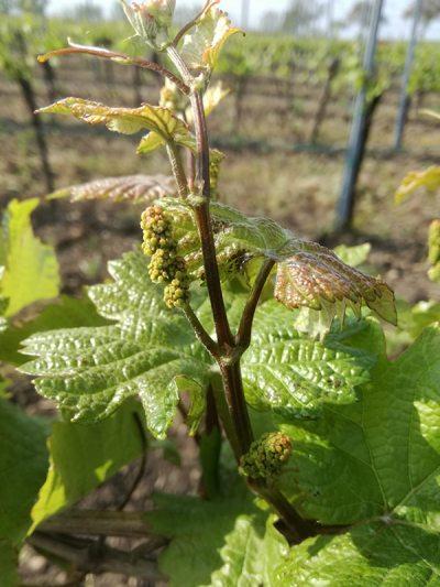 Junge Trauben Knospe im Weingut Schwarzbauer